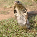090   Not too close . . . the highly venomous common cobra is native to Sri Lanka