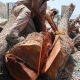 023   Noor al Baluchi cutting the sidr