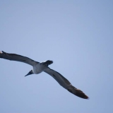 069   A Masked Booby flying by