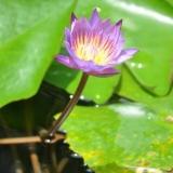 089   The lotus is Sri Lanka's national flower